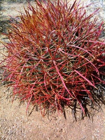 Red barrel cactus