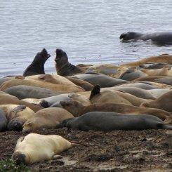 Elephant seal viewing Ano Nuevo