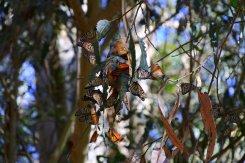 Monarch Butterfly Natural Bridges