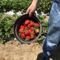 Strawberry Picking Gizdich Ranch