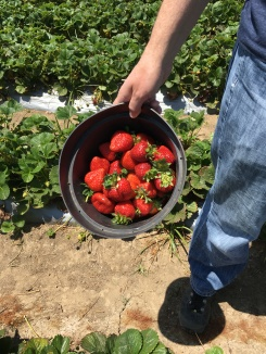 Strawberry Picking Gizdich Ranch